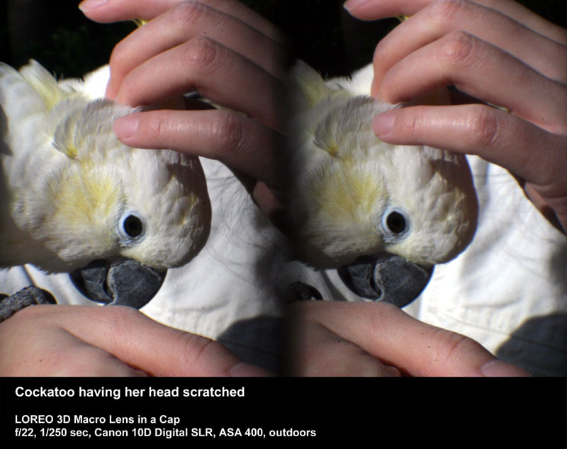 Cockatoo having her head scratched